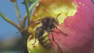 Hornet eats red apple Stock Footage
