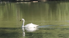 SLOW MOTION: White swan swims on a lake Stock Footage