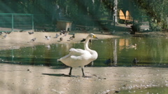 SLOW MOTION: White swan walks on a riverside Stock Footage