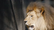 SLOW MOTION: Portrait of an African lion in a cage Stock Footage