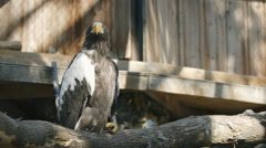 SLOW MOTION: Steller's sea eagle in zoo Stock Footage