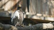 SLOW MOTION: Steller's sea eagle in zoo Stock Footage