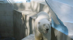 SLOW MOTION: Polar bear walking in his aviary Stock Footage