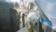 SLOW MOTION: Polar bear walking in his aviary Stock Footage