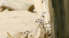 SLOW MOTION: Flock of meerkats look to up Stock Footage