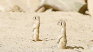 SLOW MOTION: Two meerkats guard on a sand Stock Footage