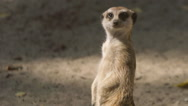 SLOW MOTION: Portrait of meerkat guard on a sand Stock Footage