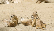 SLOW MOTION: Meerkat flock play on a sand Stock Footage