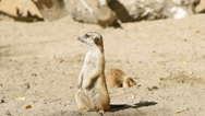 SLOW MOTION: One meerkat guards and other digs Stock Footage