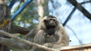 SLOW MOTION: Cambodian Gibbon sits in a cage Stock Footage