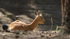 SLOW MOTION: Young deer rest and eat on a nature Stock Footage