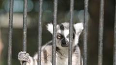 SLOW MOTION: Portrait of an angry lemur Stock Footage