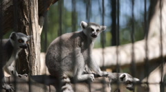 SLOW MOTION: Lemur flocks sit on a tree in a cage Stock Footage