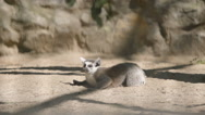 SLOW MOTION: Lemur rests on a sand Stock Footage