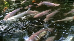 View many Beautiful golden koi fish in the big fish  pond Stock Footage