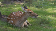 SLOW MOTION: Dappled deer rests on a grass Stock Footage