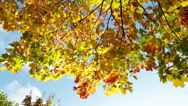 Leaves fall from a bright autumn maple Stock Footage