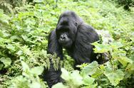 Wild Gorilla animal Rwanda Africa tropical Forest Stock Photos