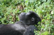 Wild Gorilla animal Rwanda Africa tropical Forest Stock Photos