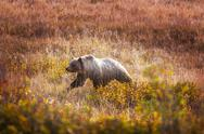 Grizzly Stock Photos