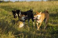 Japanese breed of dogs Sibu Inu for a walk Stock Photos