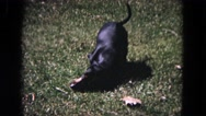 1964: a cute little dachshund dog rolling around in the grass EVANSTON, ILLINOIS Stock Footage