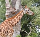 Giraffe with long neck eats the leaves of the trees Stock Photos