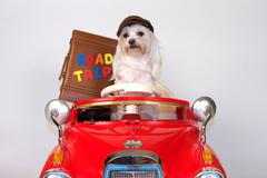Dog Travel Adorable Canine Drives Red Car Takes Road Trip Stock Photos