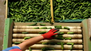 Cucumber processing factory Stock Footage