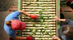 Cucumber processing factory Arkistovideo