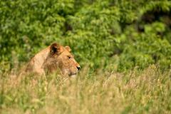 Lioness in a clearing Stock Photos