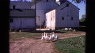1968: flock of white ducks walk slowly on the ground near to a building Stock Footage