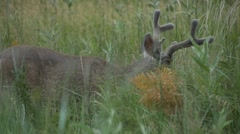 Mule Deer Grazing in Grassy Meadow - Panning Shot Stock Footage