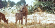 Mother Deer & Fawn in Grassy Meadow Stock Footage