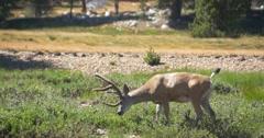 Mule Deer Grazing in Tuolumne Meadows, Yosemite National Park Stock Footage