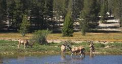Herd of Mule Deer Grazing in Tuolumne Meadows, Yosemite National Park Stock Footage