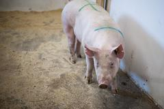Pig standing in a stable Stock Photos
