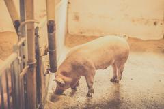 Pig eating food in a bright stable Stock Photos