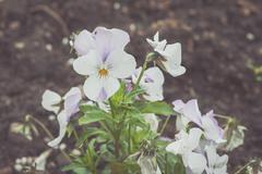 White pansy flower in a garden Stock Photos
