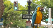 Beautiful Colorful Macaw Parrot in Downtown Monterey Stock Footage