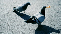 Four pigeons fighting over crumbs on asphalt Stock Footage