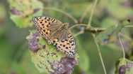 Butterfly Dark Green Fritillary is on the background of a withering leaf Stock Footage