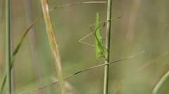Grasshopper Sickle-Bearing Bush-Cricket (Phaneroptera falcata) Stock Footage