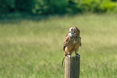 Horned owl on a wooden log Stock Photos