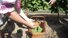 Two Women Picking Grapes in a Wicker Basket Stock Footage