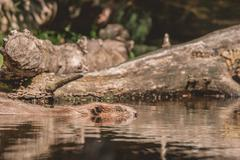 Beaver swimming in a lake in Canada Kuvituskuvat
