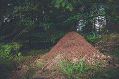 Anthill in a pine forest Stock Photos