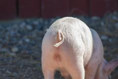 Pigtail on a pink pig Stock Photos