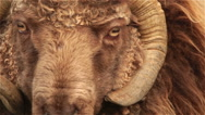 Icelandic furry brown ram big horn sheep extreme close up macro horns Stock Footage