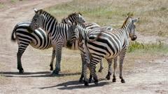 4 BURCHELL'S ZEBRA ON TRACK NAIROBI KENYA AFRICA Stock Footage
